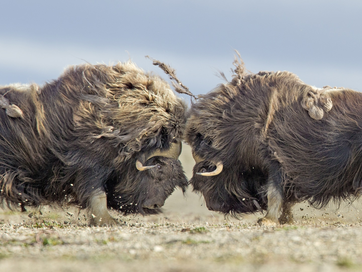 Bull muskoxen face off and fight for dominance on the barren Arctic tundra near Arctic Watch Wilderness Lodge. Photo Nansen Weber