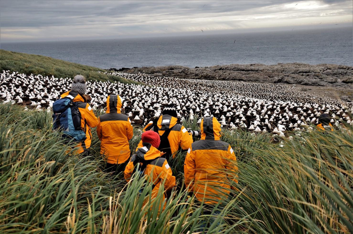 Quark's Ocean Adventurer passengers marvel at the spectacle of thousands of black-browed albatross nesting on Steeple Jason, in the Falkland Islands. Photo Manda Lundström