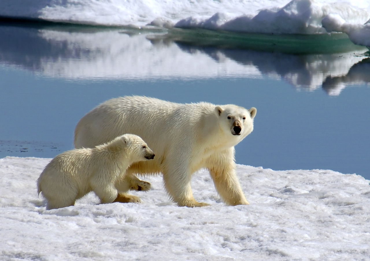A polar bear cub tries to keep up as his mother prowls a Spitsbergen ice floe for ringed seal. Photo: Alexander Kutskiy
