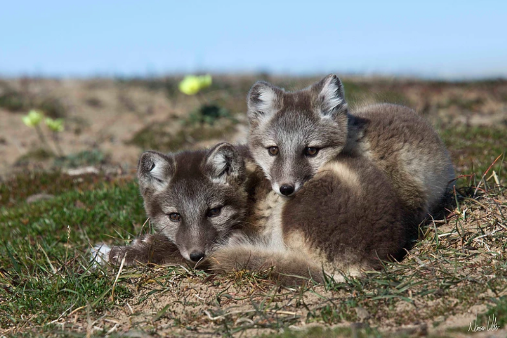 Arctic foxes pictured at Arctic Watch