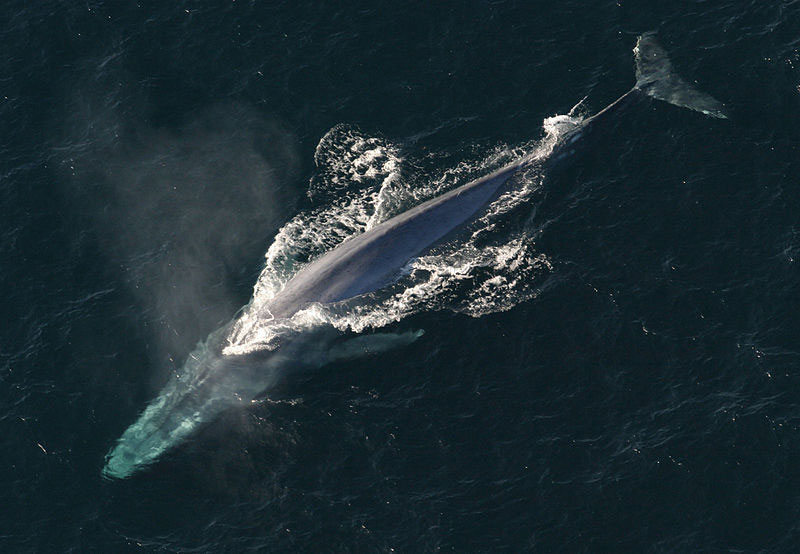A blue whale, rarely seen on Arctic expeditions.
