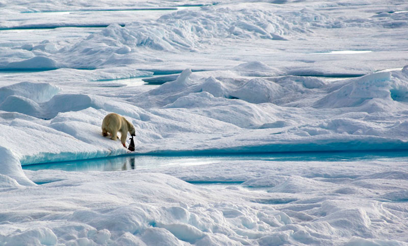 polar bear drags its fresh kill, a small seal, along the edge of an ice floe in the Northwest Passage. Photo credit: Alex Preston