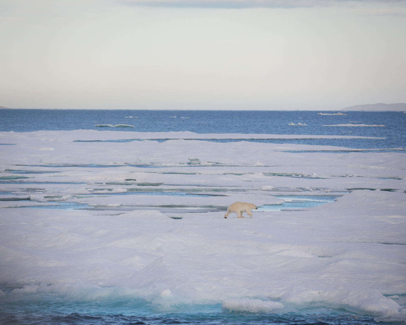 Polar Bear in the Canadian Arctic - Photo by Acacia Johnson