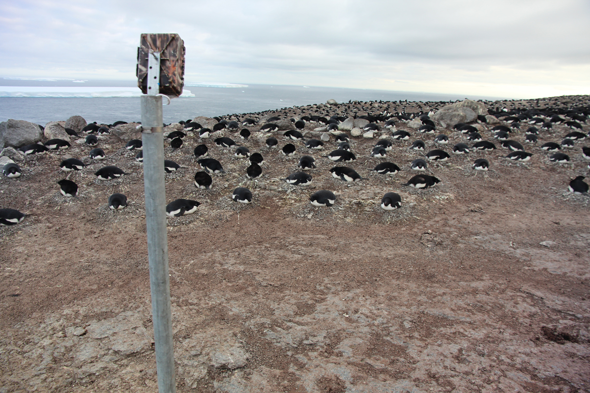 Timelapse camera overlooking Adelie penguins