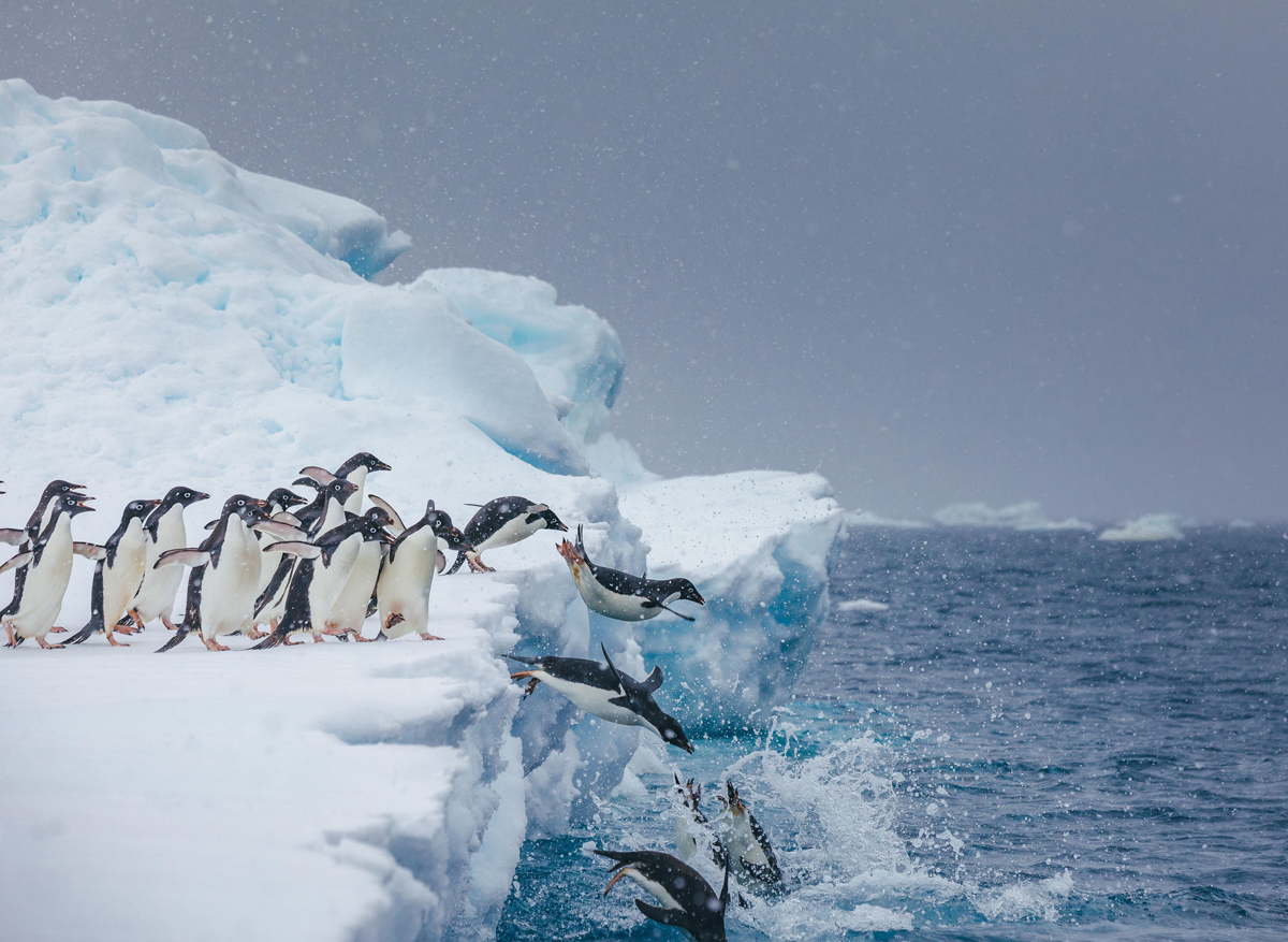 Adelie penguins jumping into water - Photo by Dave Merron