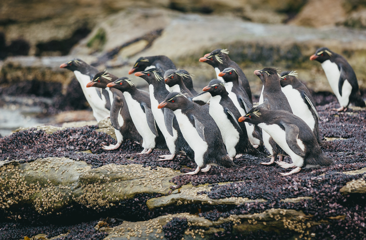 Penguins at Saunders Island, Falklands.