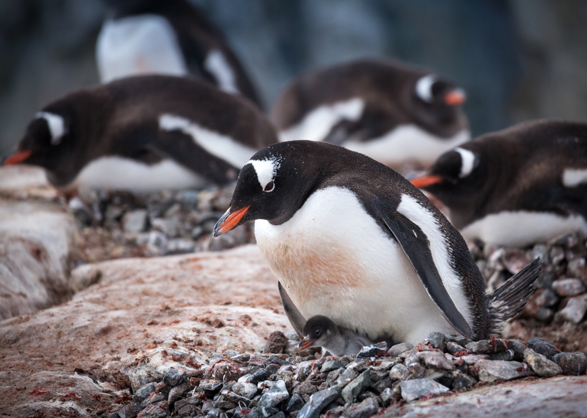 A Gentoo chick in its rock nest at Petermann Island. Photo: Acacia Johnson