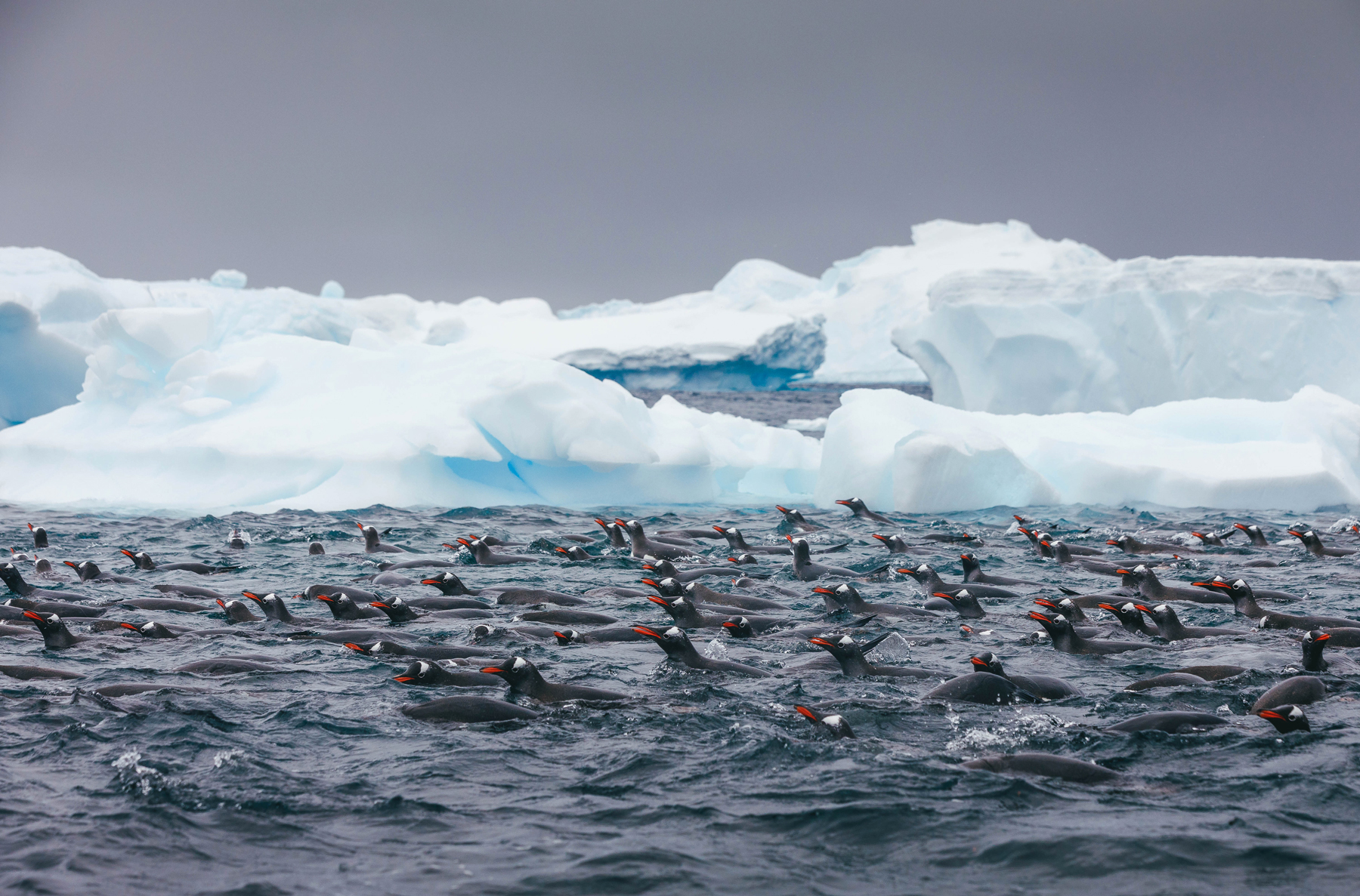 Gentoo penguin near shore. Photo: David Merron