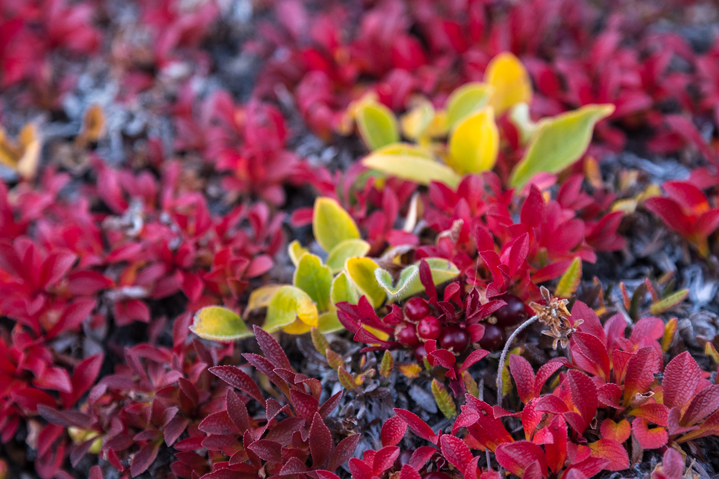 Bearberry spotted at Ella Island, in East Greenland. Photo by Acacia Johnson