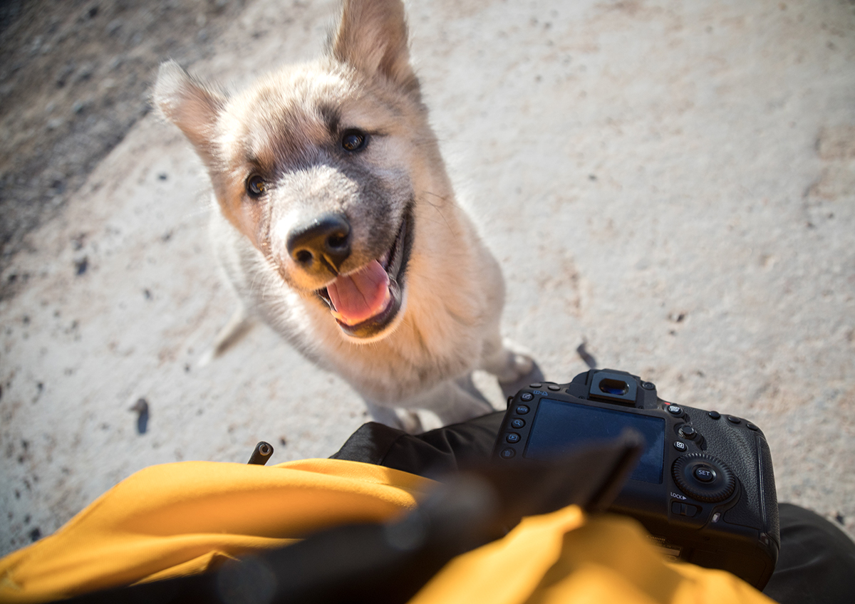 A Greenlandic sled dog puppy offers a curious and enthusiastic greeting. Photo: Acacia Johnson