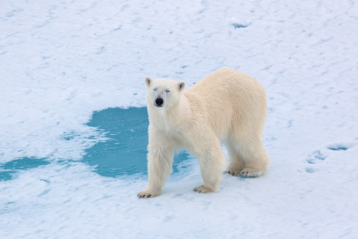 Single polar bear on ice looking at camera.