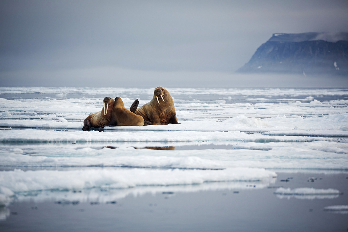 Two adult walruses and a cub on ice with a mountain in the background.