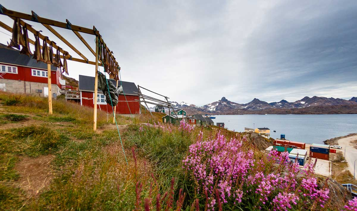 Purple flowers accent the hilltop of houses in an arctic community. Photo by Nicky Souness.