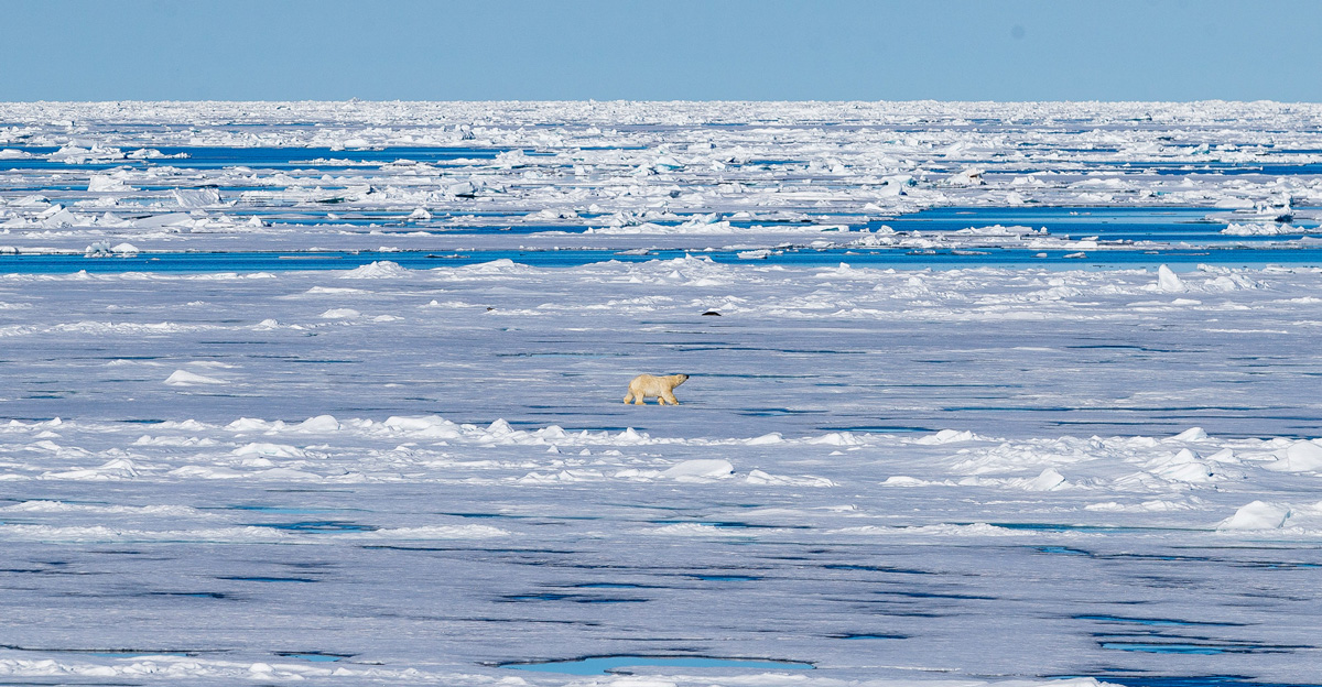 A polar bear walks across ice.