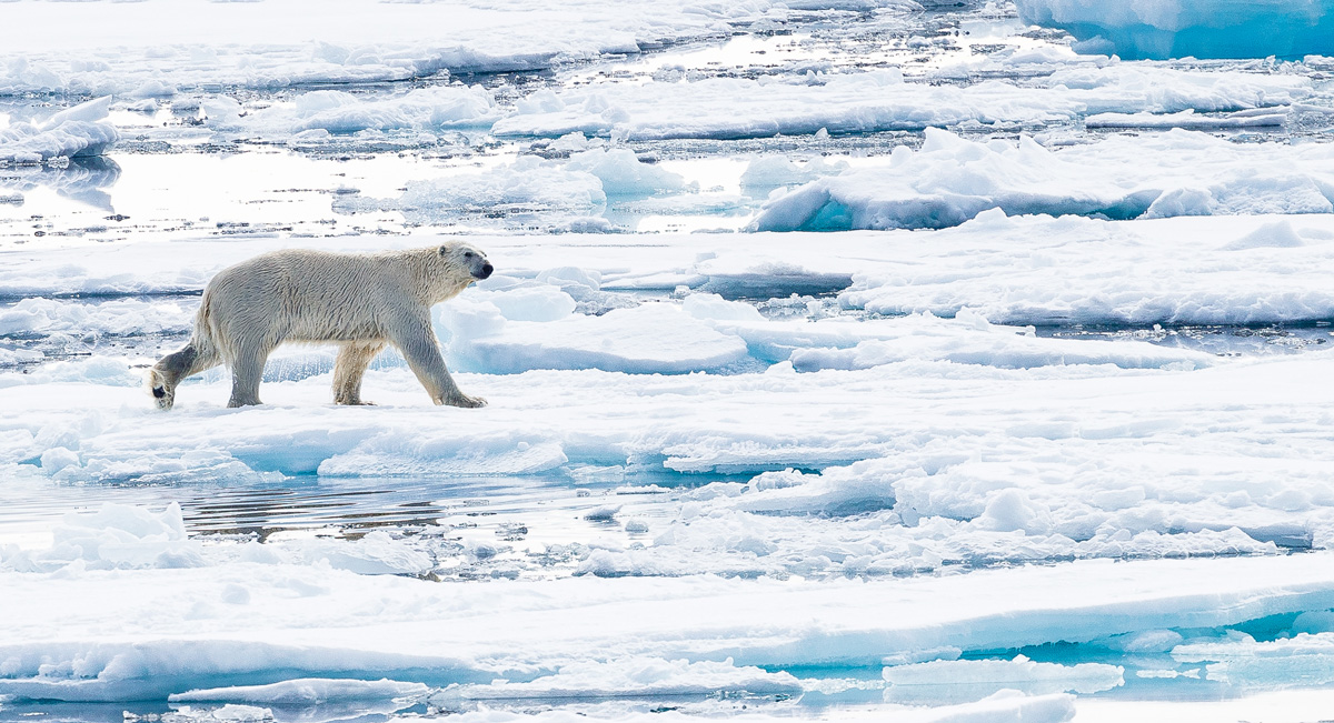 A polar bear walks across the ice.
