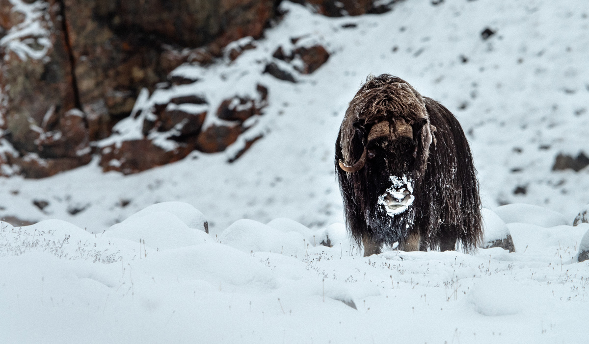 A musk ox searches for shrubs to eat.