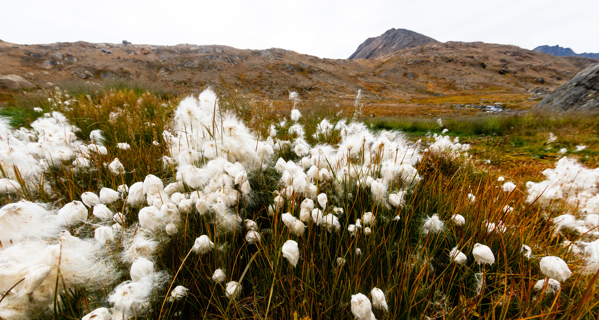 A landscape showing the dense ground cover characteristic of tundra.