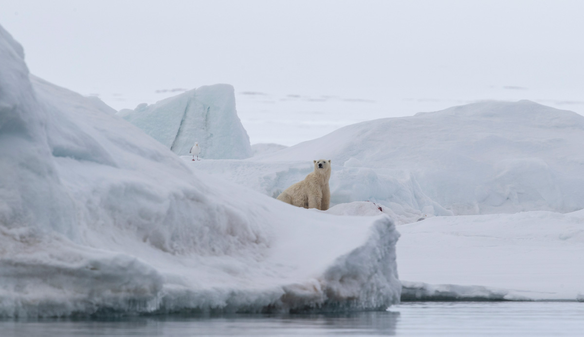 A polar bear watches the Quark Expeditions ship pass by.
