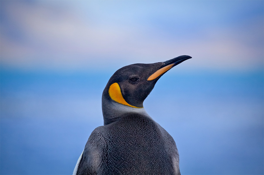 A king penguin at Grytviken, South Georgia.