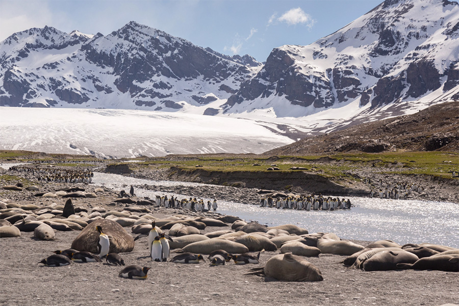 Elephant seals and king penguins pictured on the shores of the river at St. Andrew's Bay, South Georgia