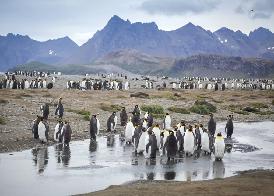King penguins gather at Salisbury Plain, South Georgia.