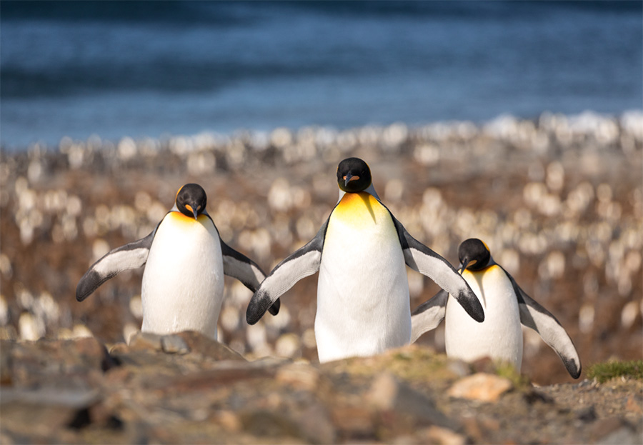 A group of three King penguins walking towards the camera