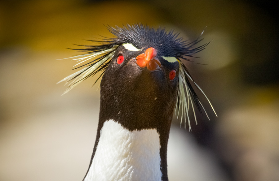 The colourful rockhopper penguin is one of the numerous wildlife species spotted on Patagonia wildlife tours