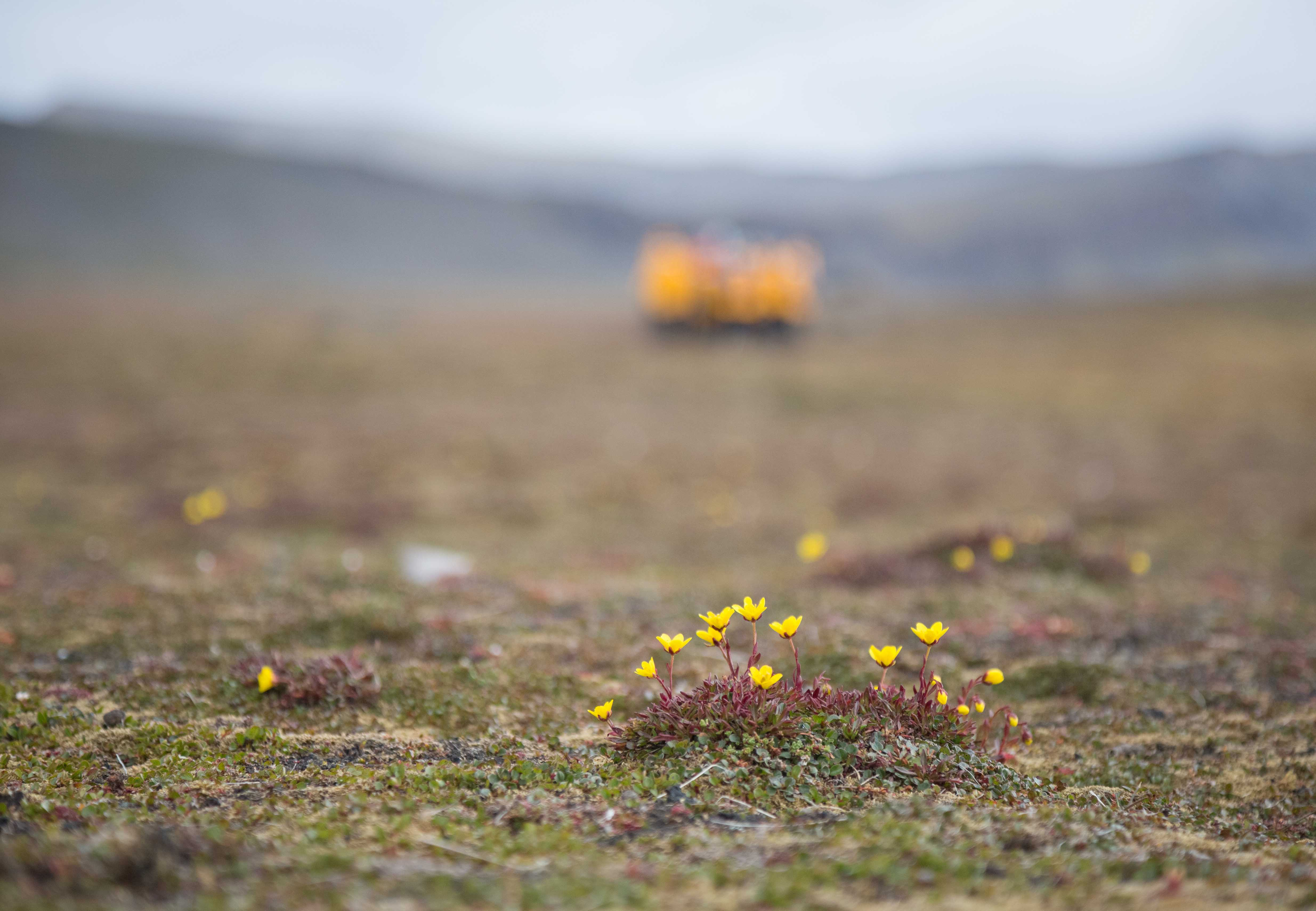 The pretty Yellow Marsh Saxifrage is often found in Arctic bogs.