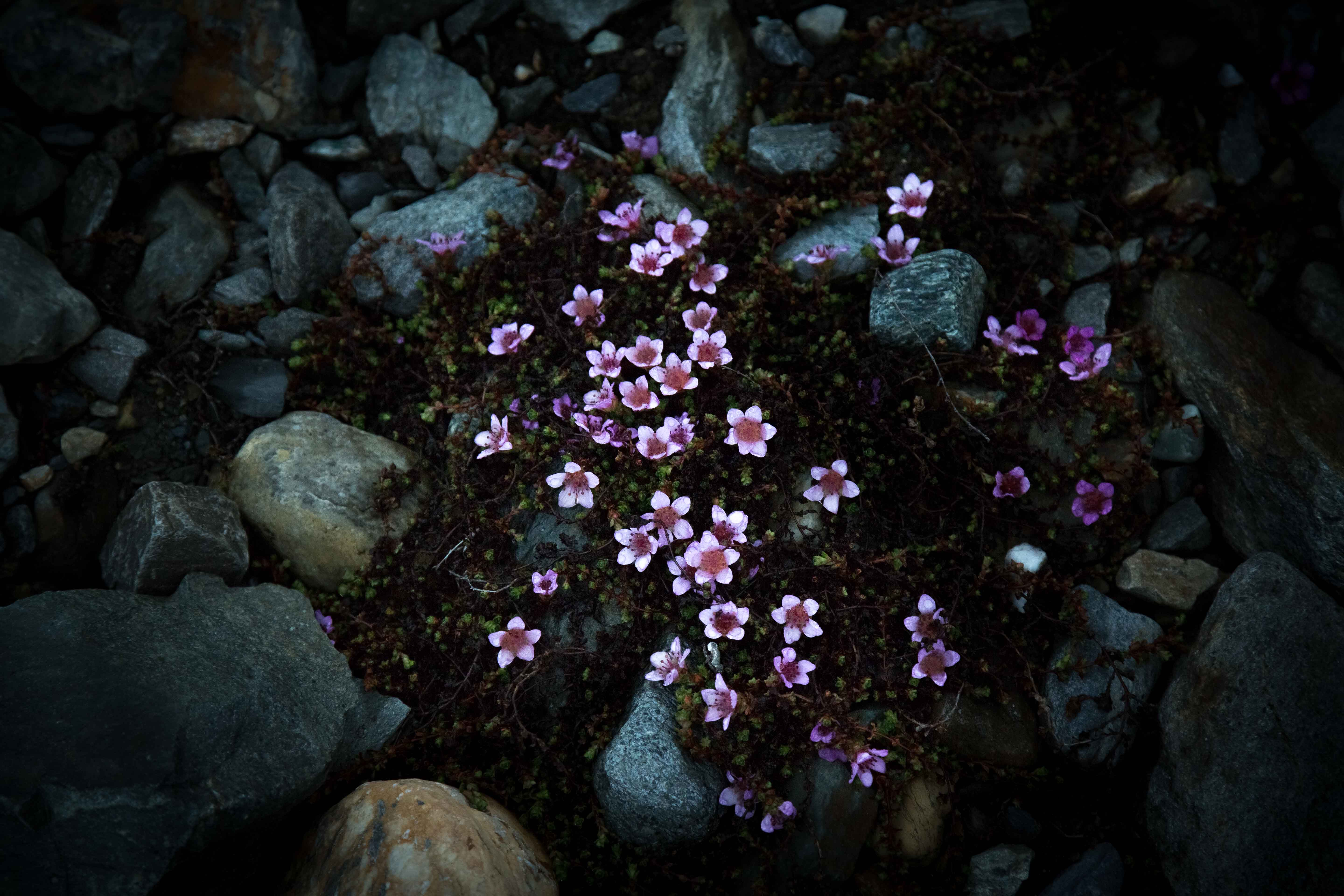 The appearance of the Purple Saxifrage often surprise polar travelers