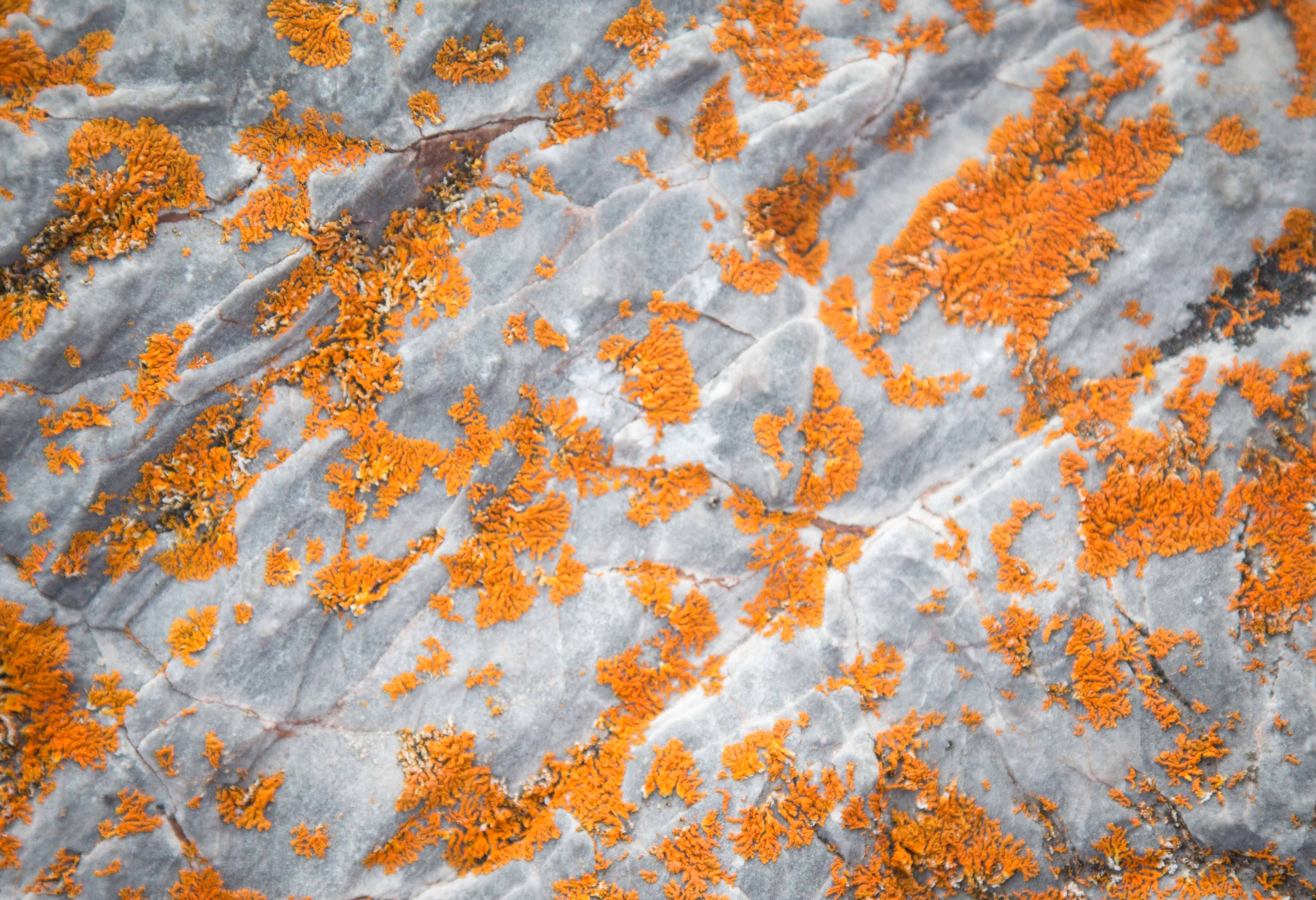The persevering lichen has adapted to the Arctic tundra, thriving without any soil.