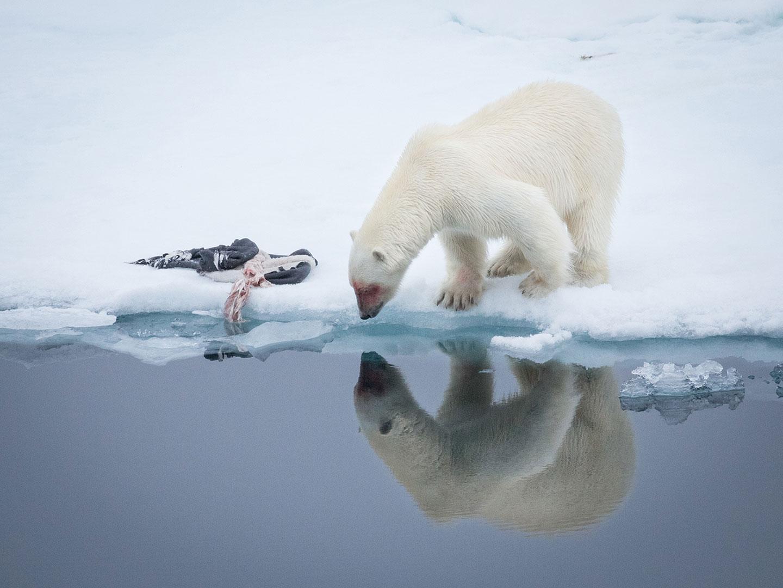 Polar bear hunting a seal in Svalbard