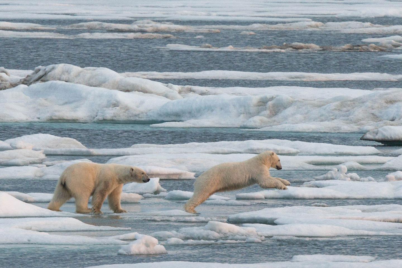 Polar bears live on the ice edge