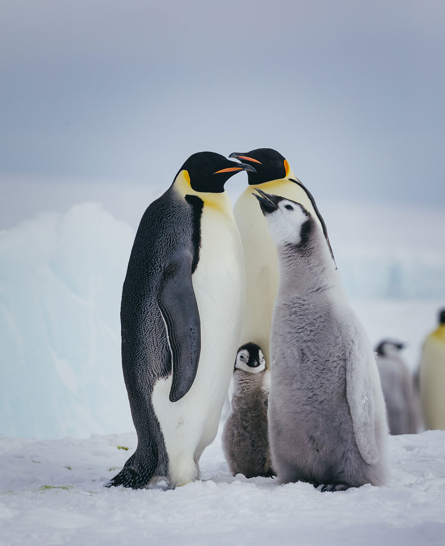 Emperor penguins raise chicks on the ice