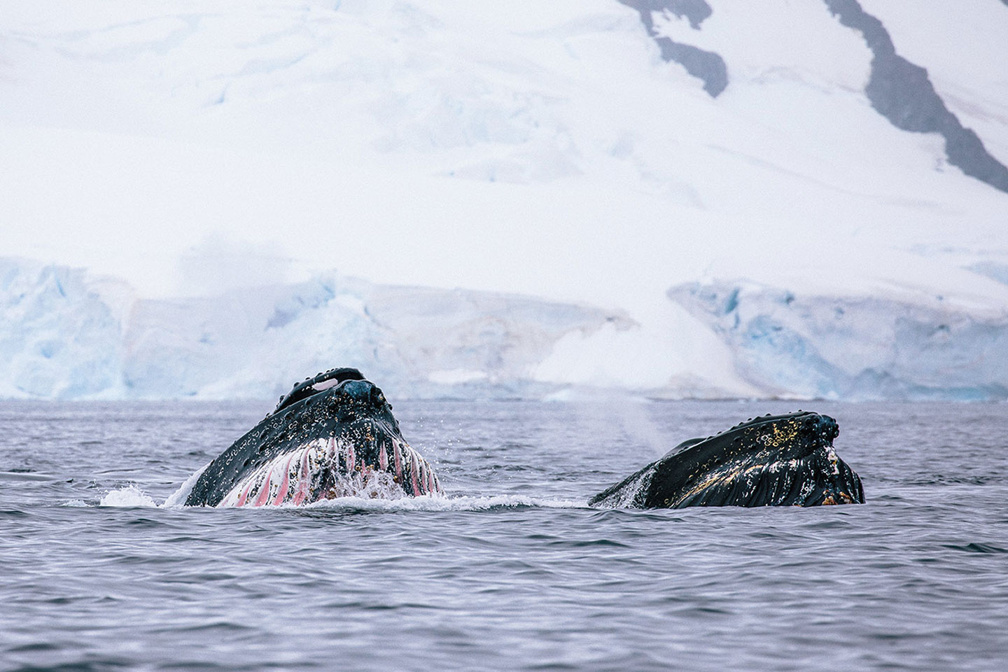 Humpback whales in the Arctic