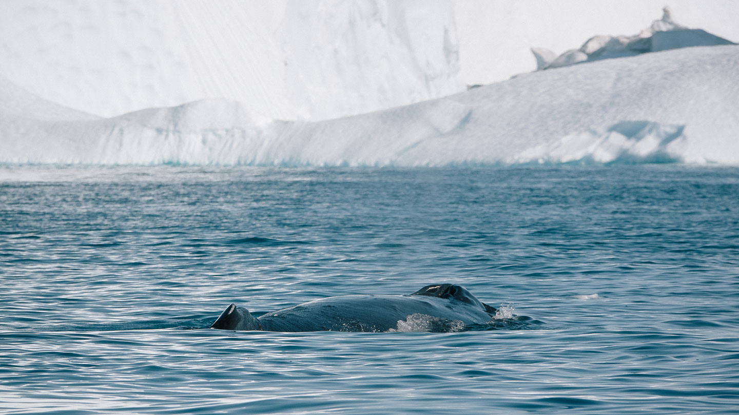 Whale watching in Greenland
