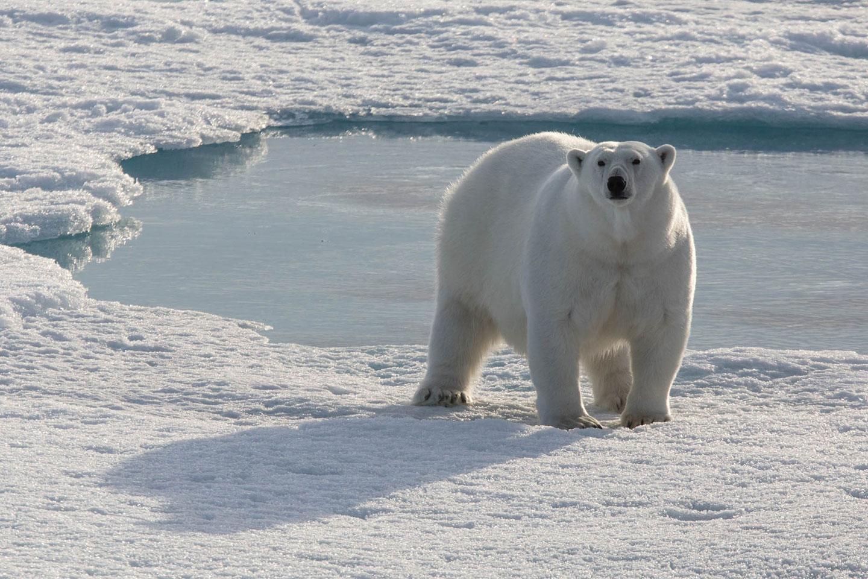 Polar bears. Largest land carnivore