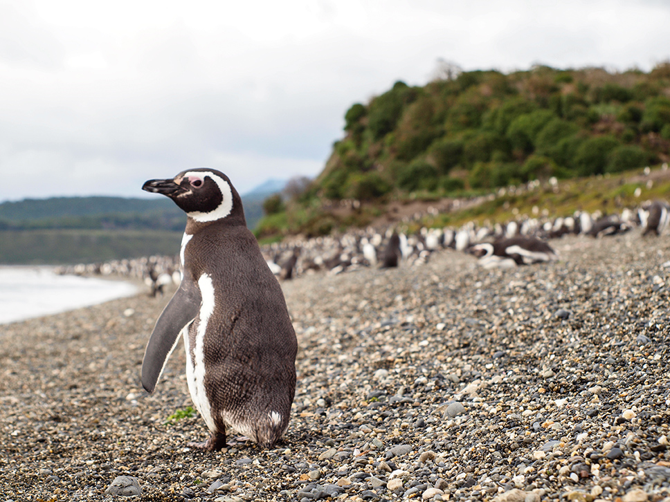 Large rookeries of penguins are found in Tierra del Fuego