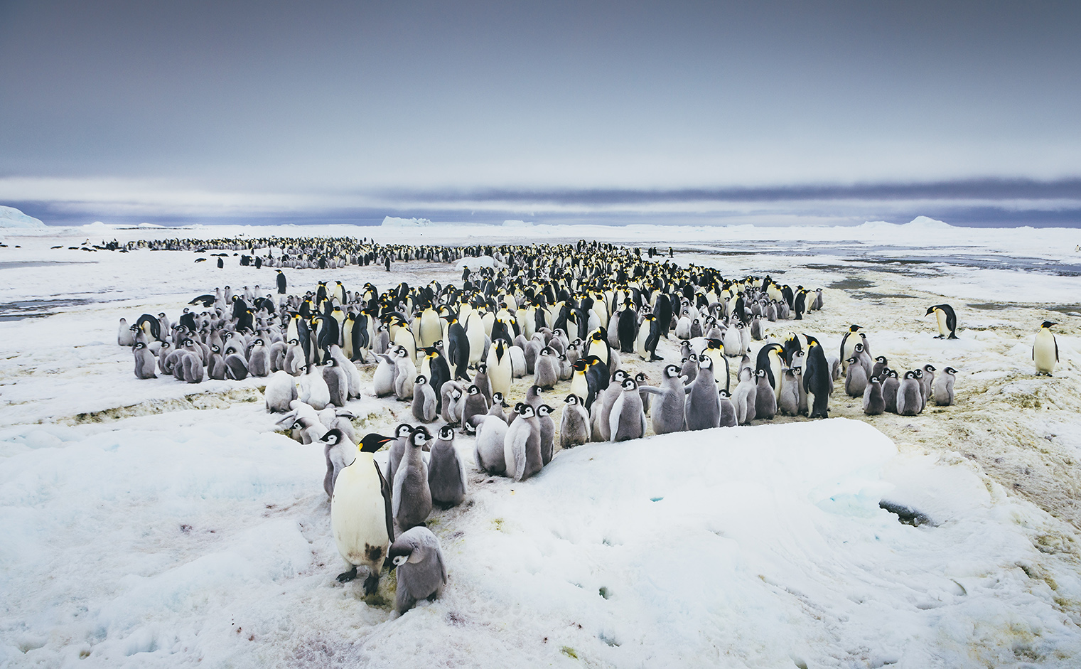 Snow Hill Island is home to an estimated 10,000 Emperor penguins and their chicks