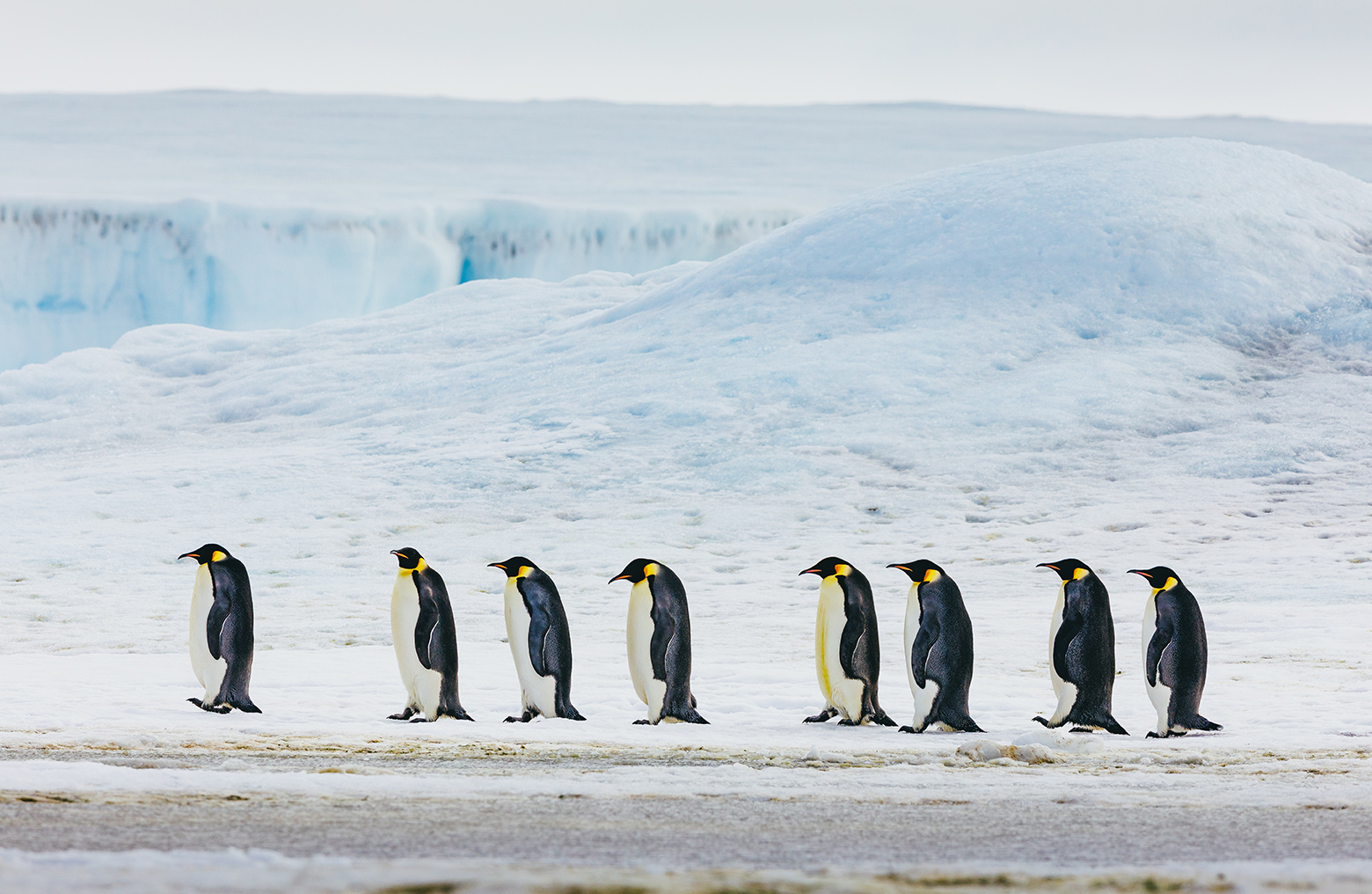Emperor penguins are the largest of their species, and thrive in extremely cold Antarctic temperatures.