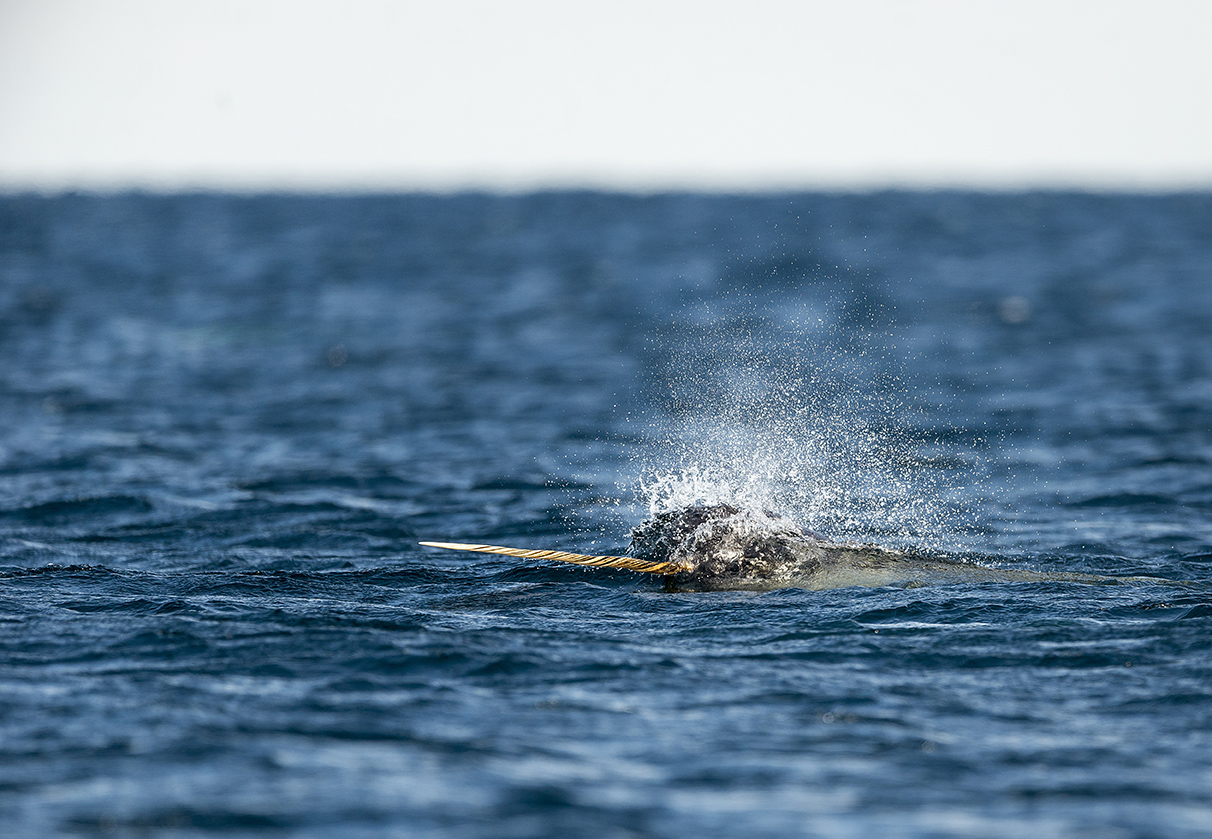 The average narwhal weighs approximately 1,600 kilogram