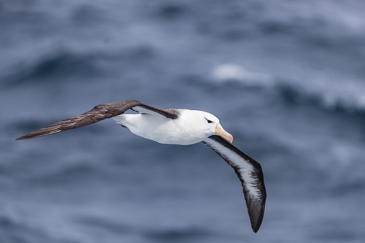 Patagonia is known for its large colonies of albatross.