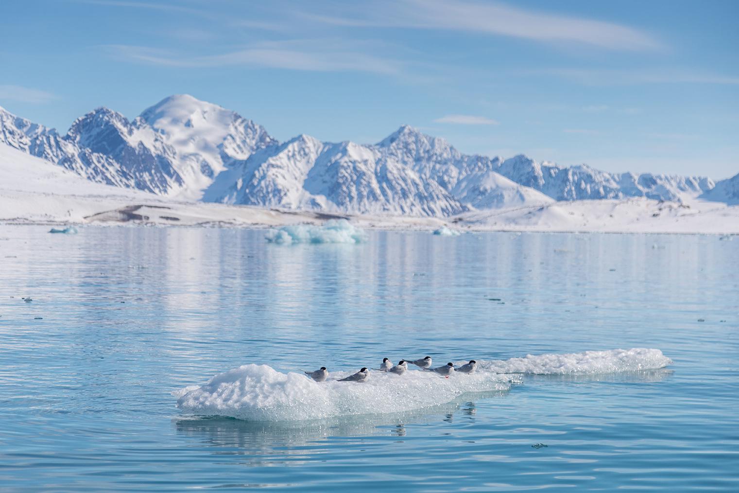Arctic terns are often seen along the coastal areas of the Norwegian Arctic archipelago of Svalbard