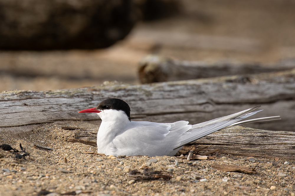 rctic terns' annual migratory route ranges from 44,000 to 59,000 miles . Their migration is the longest of any bird species on the planet.