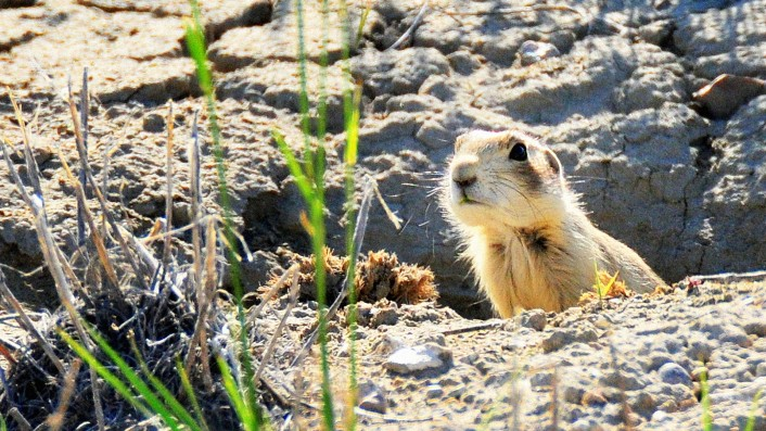 Drones deliver snacks to prairie dogs