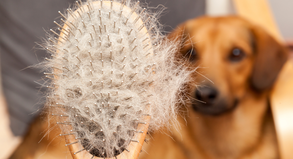 Picture of brush full of fur with dog in the background