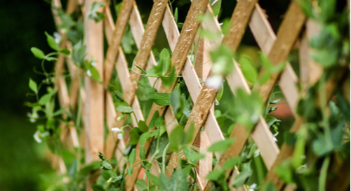 Peas growing up a trellis