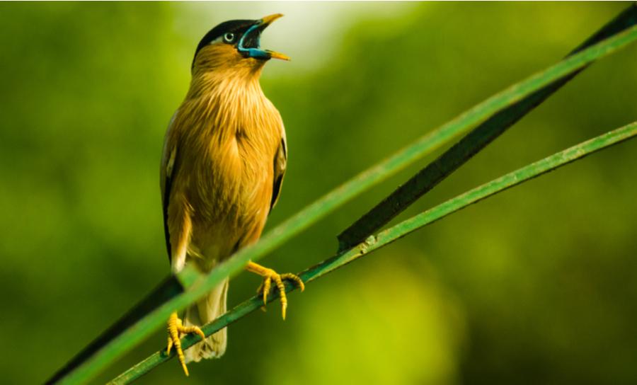 Brahminy starling chirping
