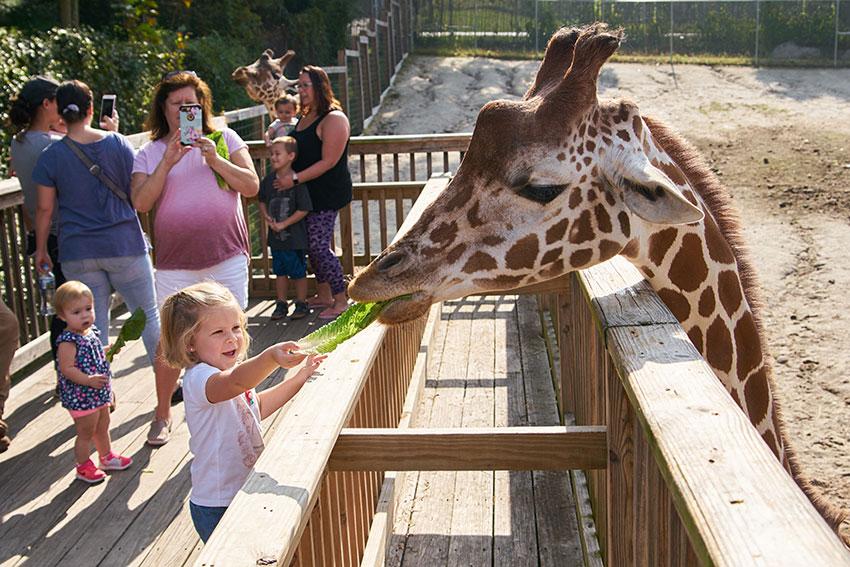 Interactive Giraffe feeding experience