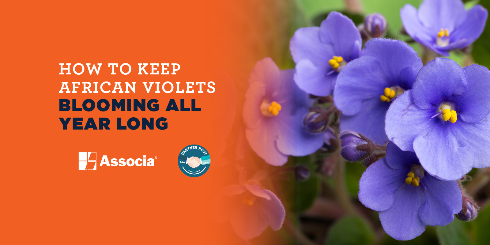 Partner Post How To Keep African Violets Blooming All Year Long
