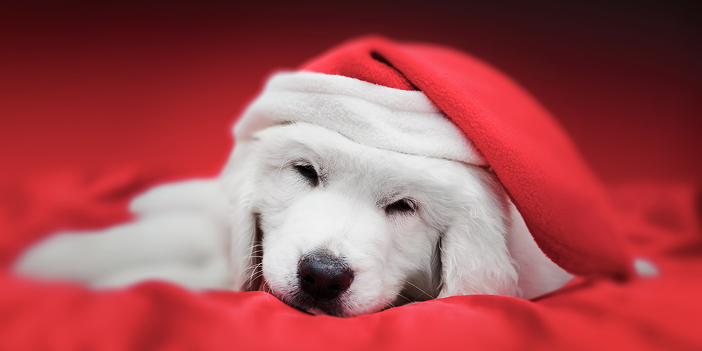 Adorable Golden retriever puppy with Santa hat sleeping peacefully
